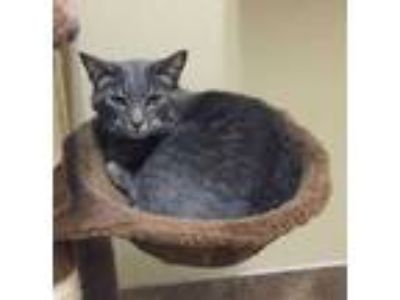 Adopt Cloey a Gray or Blue Domestic Shorthair / Domestic Shorthair / Mixed cat