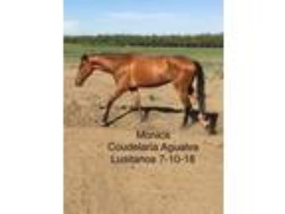 For Sale purebred lusitano mare in foal