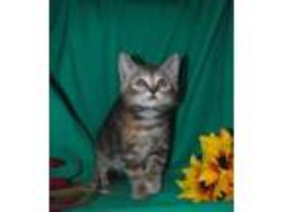 Adopt Wissy a Domestic Short Hair