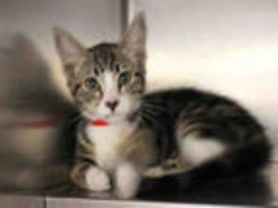 Adopt BELLA a Gray, Blue or Silver Tabby American Shorthair / Mixed (short coat)
