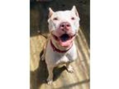 Adopt Cheddar a White American Pit Bull Terrier / Mixed dog in Waldorf
