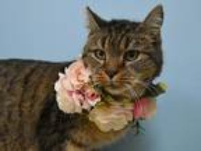 Adopt Maggie a Domestic Shorthair / Mixed cat in Portland, OR (25517333)