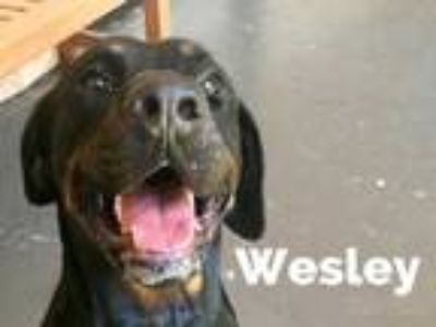 Adopt Wesley a Black Rottweiler / Mixed dog in Lewisville, TX (25539787)