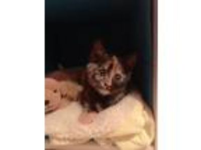 Adopt CP - NC - Skittles a Domestic Short Hair