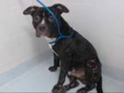 Adopt KING a Black - with White American Pit Bull Terrier / Mixed dog in