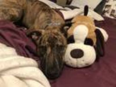 Adopt Bee a Brindle - with White Plott Hound / American Pit Bull Terrier / Mixed