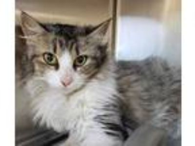 Adopt Cindy Clawford a Brown or Chocolate Maine Coon / Domestic Shorthair /