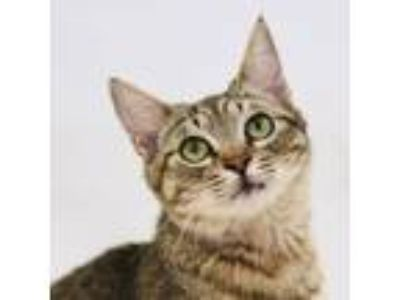 Adopt Willy a Brown or Chocolate Domestic Shorthair / Domestic Shorthair / Mixed