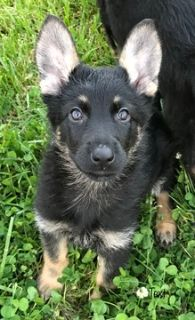 German Shepherd Dog PUPPY FOR SALE ADN-76405 - German Shepherd Pups