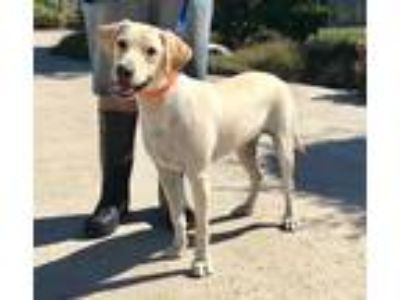 Adopt Honey a Tan/Yellow/Fawn Labrador Retriever / Mixed dog in Lathrop