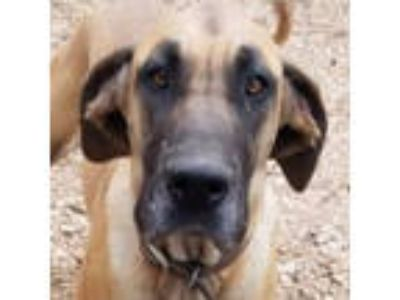Adopt Quida a Great Dane