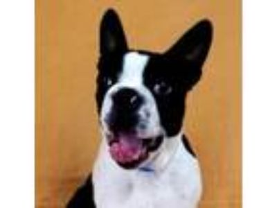 Adopt Jersey a Boston Terrier