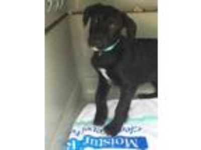 Adopt Easter Lily a Black Labrador Retriever / Terrier (Unknown Type