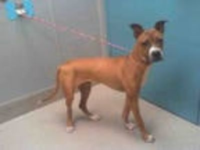 Adopt BOBO a Brown/Chocolate - with White American Pit Bull Terrier / Boxer /