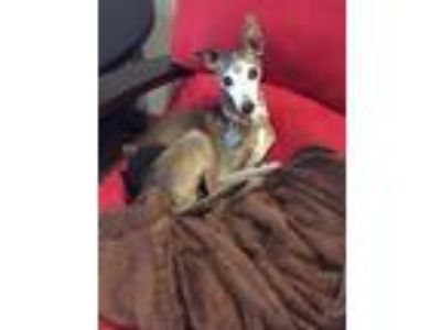 Adopt Toby- Spring area a Italian Greyhound