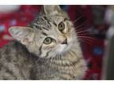Adopt Anaken a Domestic Short Hair