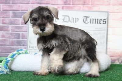 Schnauzer (Miniature) PUPPY FOR SALE ADN-95900 - Lilly Spirited Female Miniature Schnauzer Puppy
