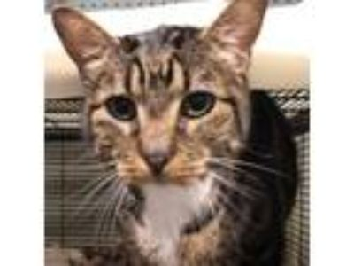 Adopt Rueben a Calico or Dilute Calico Domestic Shorthair cat in Folsom