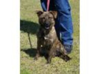 Adopt VIOLET a Brindle Shepherd (Unknown Type) / Mixed dog in Clinton