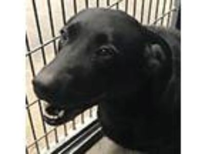 Adopt Layla a Black Labrador Retriever / Mixed dog in Springdale, AR (25207463)