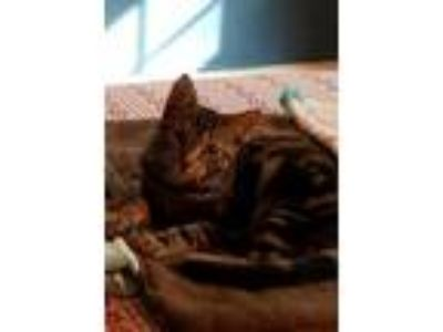 Adopt Willie a Domestic Shorthair / Mixed cat in Calverton, NY (24442902)
