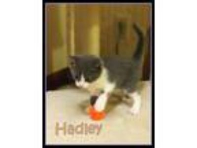 Adopt Hadley *kitten* a Domestic Short Hair