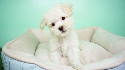 Maltipoo Puppy – Male - Leonard ($900)