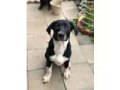 Adopt Tonka a Labrador Retriever, Border Collie