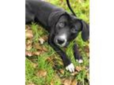 Adopt Winston a Black Labrador Retriever / Border Collie / Mixed dog in