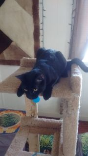 Male black cat to loving home. He is chipped, shots and licensed.