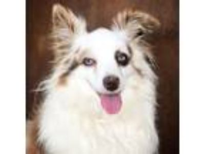 Adopt Trey a White - with Tan, Yellow or Fawn Australian Shepherd dog in