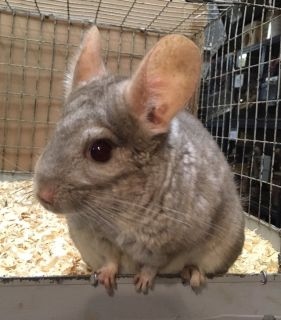2.5 Year Old Hetero Beige Female Chinchilla -- for quiet home -- Ursula