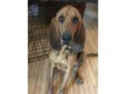 Adopt Toby a Black - with Tan, Yellow or Fawn Bloodhound dog in Kansas City