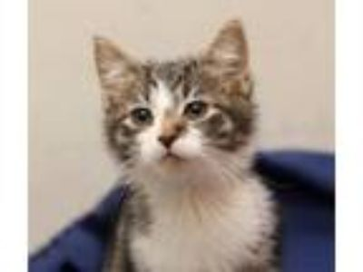 Adopt Samoa a Domestic Short Hair, Tabby