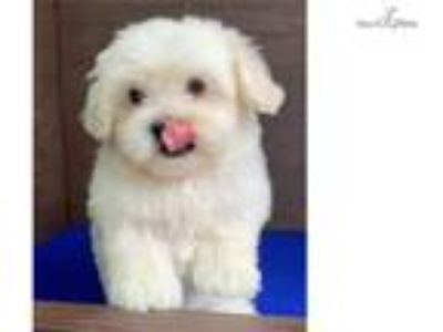Maltipoo Puppies - San Antonio Classifieds - Claz org
