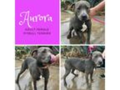 Adopt Aurora a Gray/Blue/Silver/Salt & Pepper Pit Bull Terrier / Mixed dog in