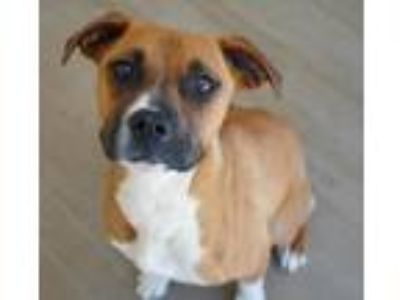 Adopt Jewels a Boxer, Mixed Breed