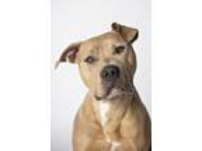 Adopt Lucy a Mastiff, Pit Bull Terrier
