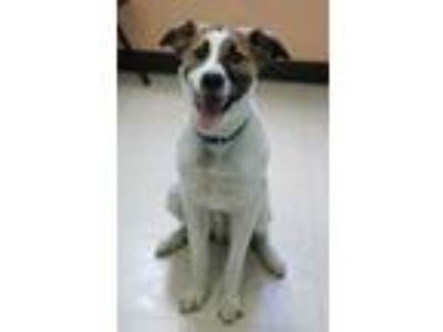 Adopt Renegade a Collie, Spaniel