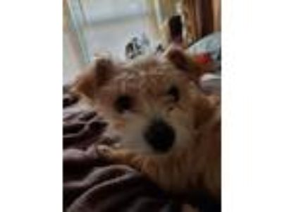 Adopt Buster a Tan/Yellow/Fawn Terrier (Unknown Type, Small) / Mixed dog in