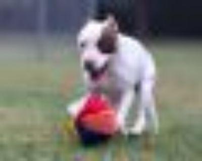 Zippy Pit Bull Terrier Dog