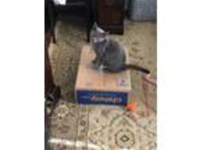 Adopt Lady Blue a Gray or Blue American Shorthair / Mixed cat in Jacksonville