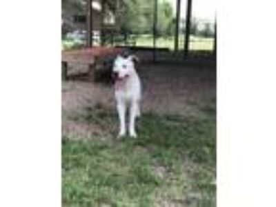 Adopt Gilligan a White Mixed Breed (Large) / Mixed dog in Killeen, TX (25563500)