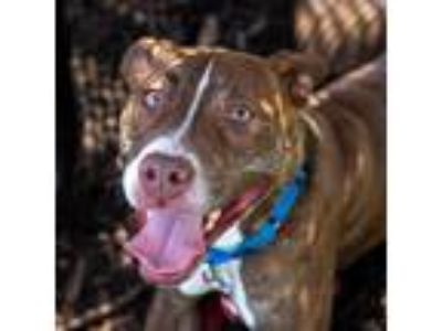 Adopt Roxy a Red/Golden/Orange/Chestnut American Pit Bull Terrier / Mixed dog in