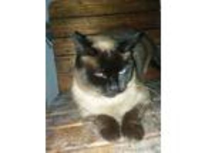 Adopt Sable a Domestic Short Hair, Siamese