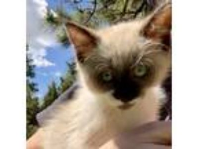 Adopt Olivia a Cream or Ivory Siamese cat in Aurora, CO (25579689)