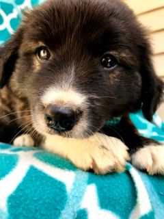Golden Retriever-Border Collie Mix PUPPY FOR SALE ADN-92142 - Take home Dandy Today