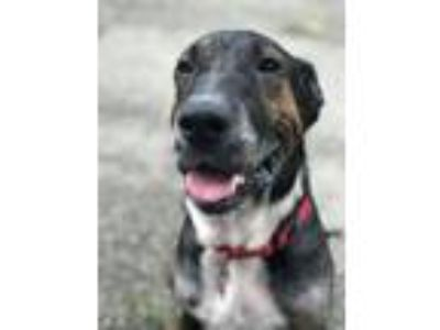 Adopt Chad a Hound, Great Dane