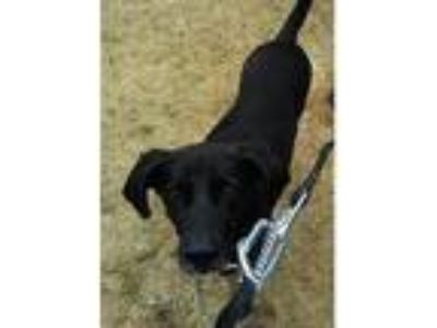 Adopt Grover a Black Hound (Unknown Type) / Labrador Retriever / Mixed dog in