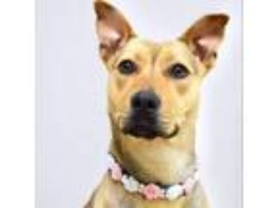 Adopt Wendy - ECAS a Tan/Yellow/Fawn Shepherd (Unknown Type) / Pit Bull Terrier